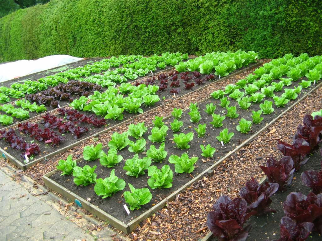 дизайн огорода фото с посадками овощей прост эксплуатации